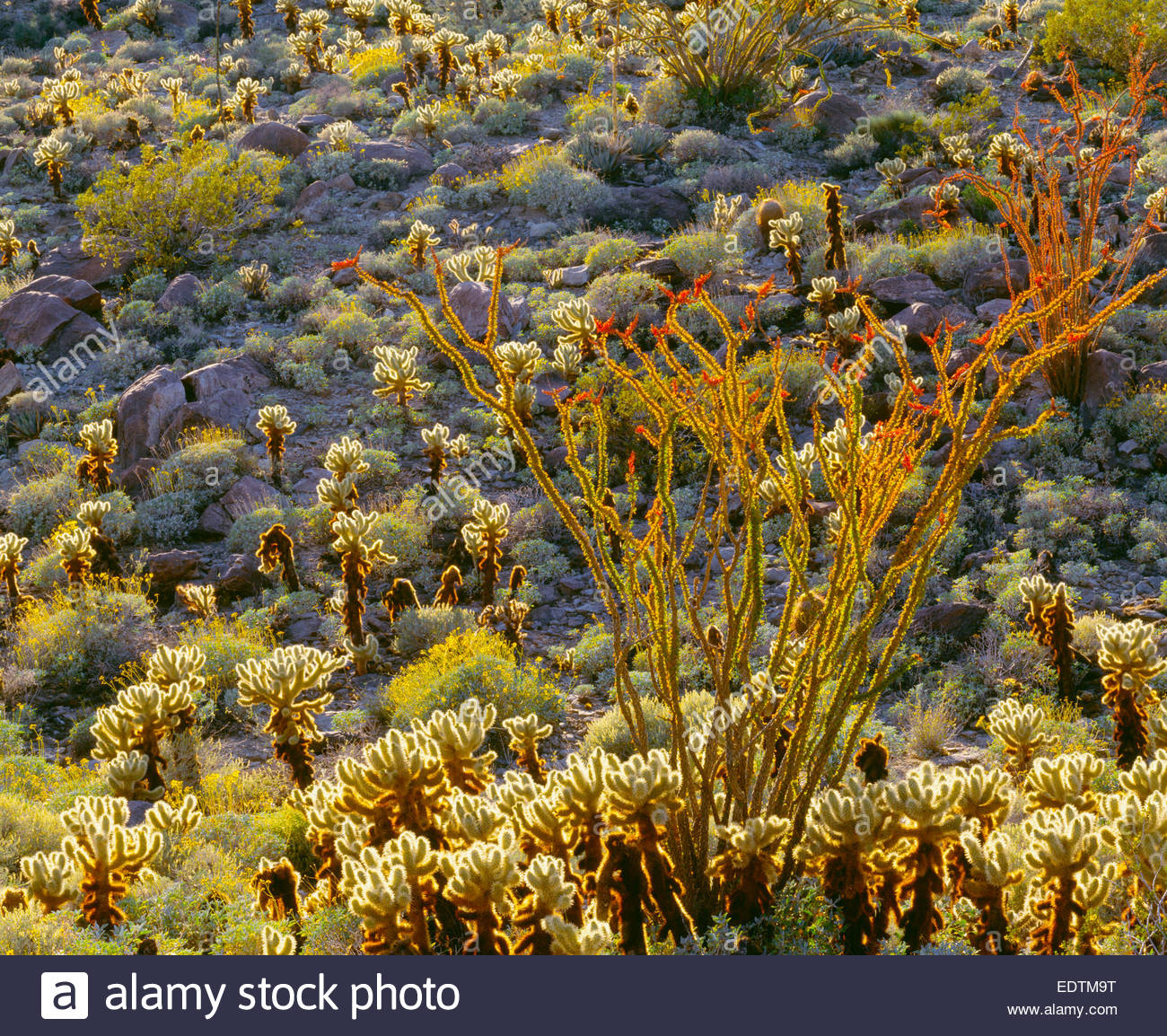 Blooming ocotillo and teddy bear cholla cactus, Mojave Desert, Anza-Borrego State Park, California. - Stock Image