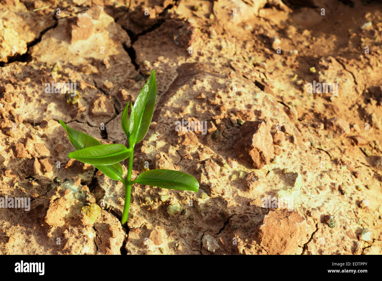 The sprout survive on cracked ground in arid environment - Stock Image