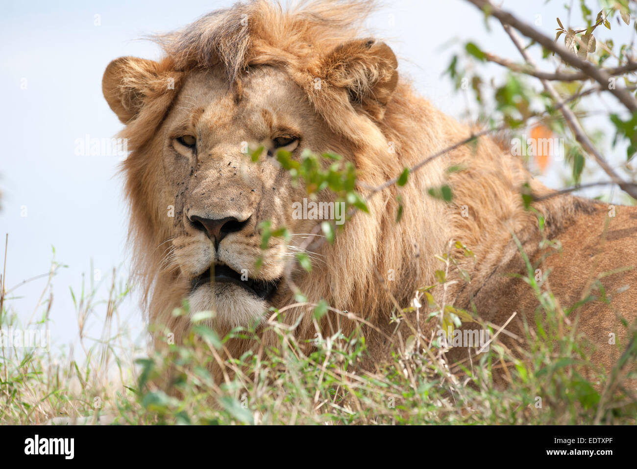 lion the king in the savannah of africa - Stock Image