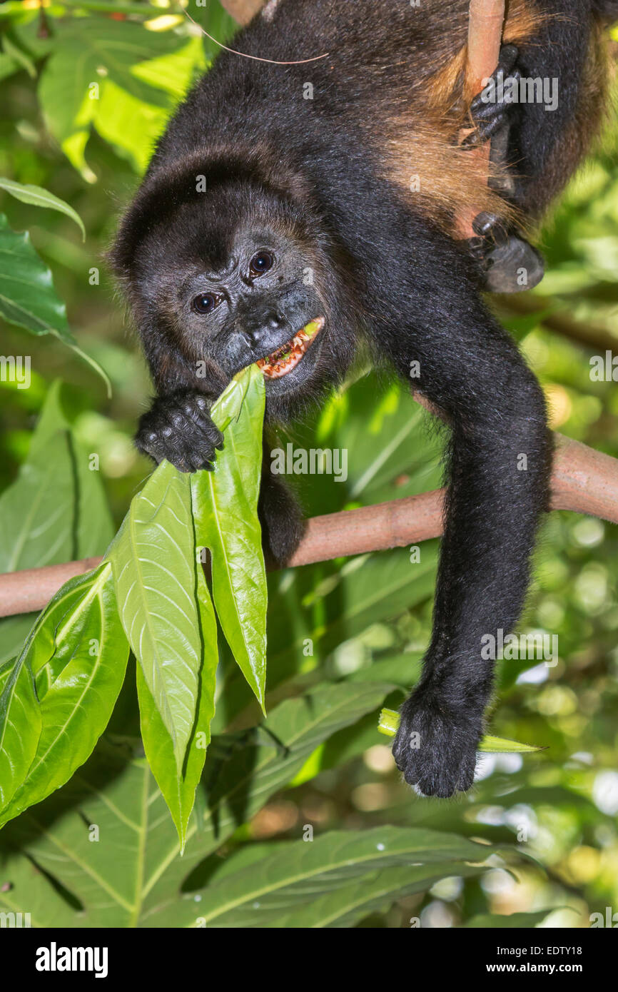 mantled howler monkey (Alouatta palliata) eating tree leaves in rainforest canopy, Cahuita national park, Limon, - Stock Image