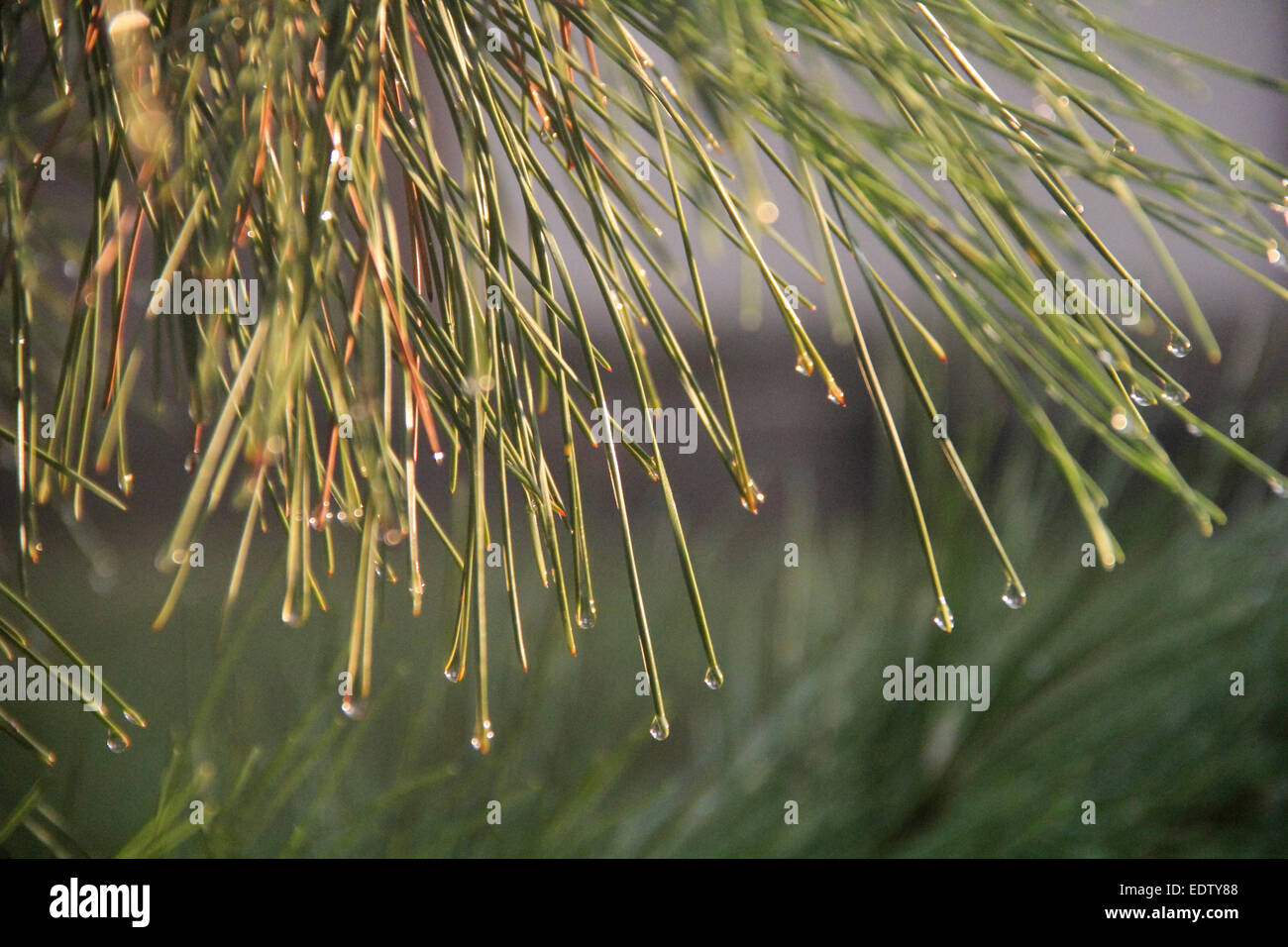 Sun caught in water drops clinging to pine needles after a light afternoon shower. - Stock Image