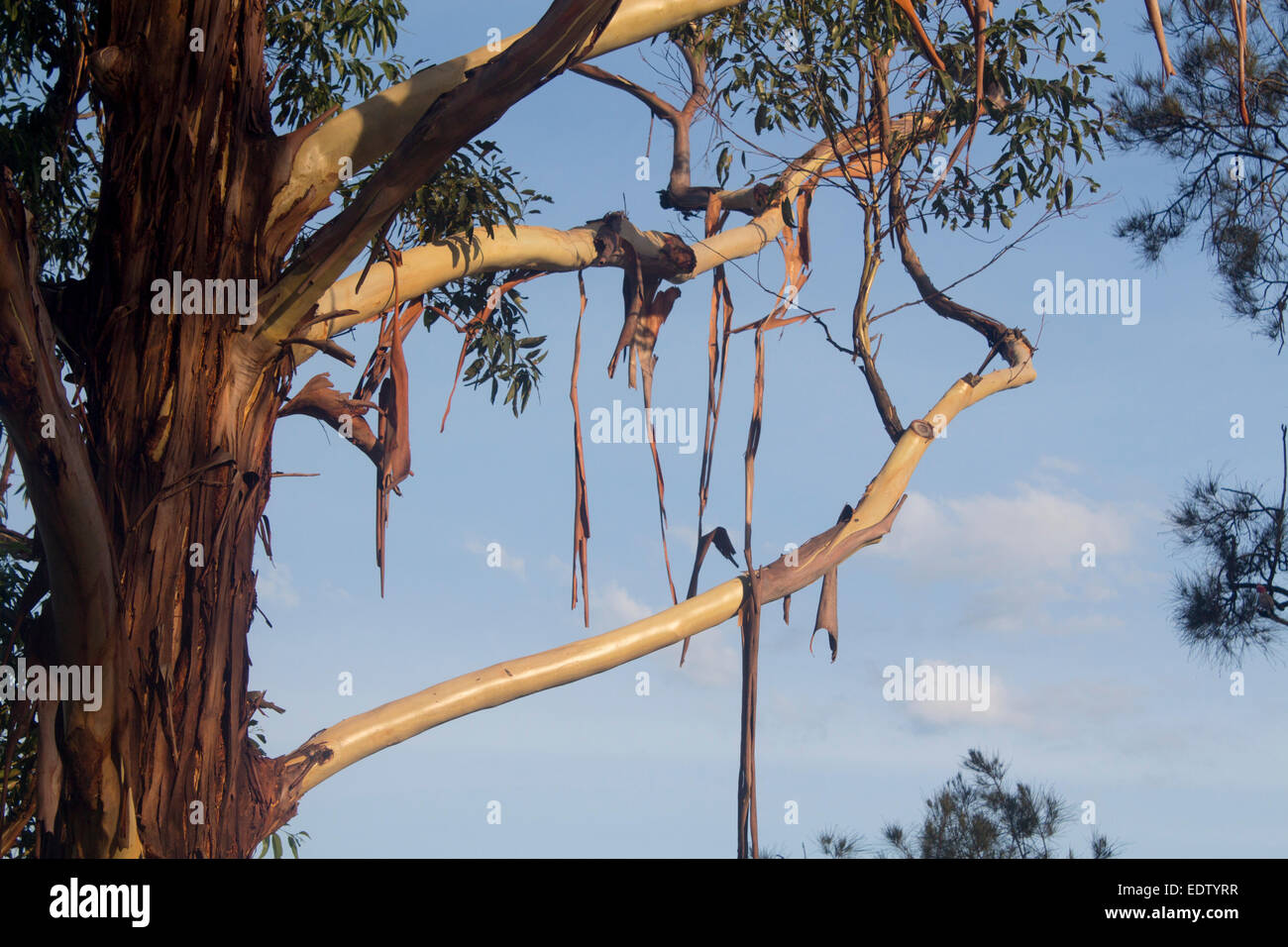 Gum Tree Shedding Bark High Resolution Stock Photography And Images Alamy