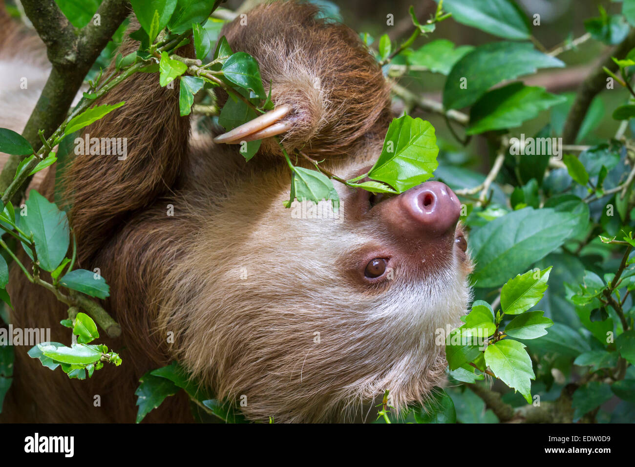 Hoffmann S Two Toed Sloth Choloepus Hoffmanni Eating