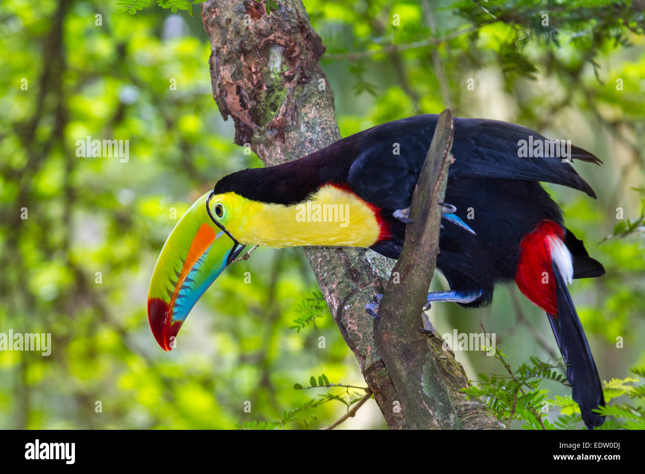 Keel-Billed Toucan (Ramphastos sulfuratus), Limon, Costa Rica. - Stock Image
