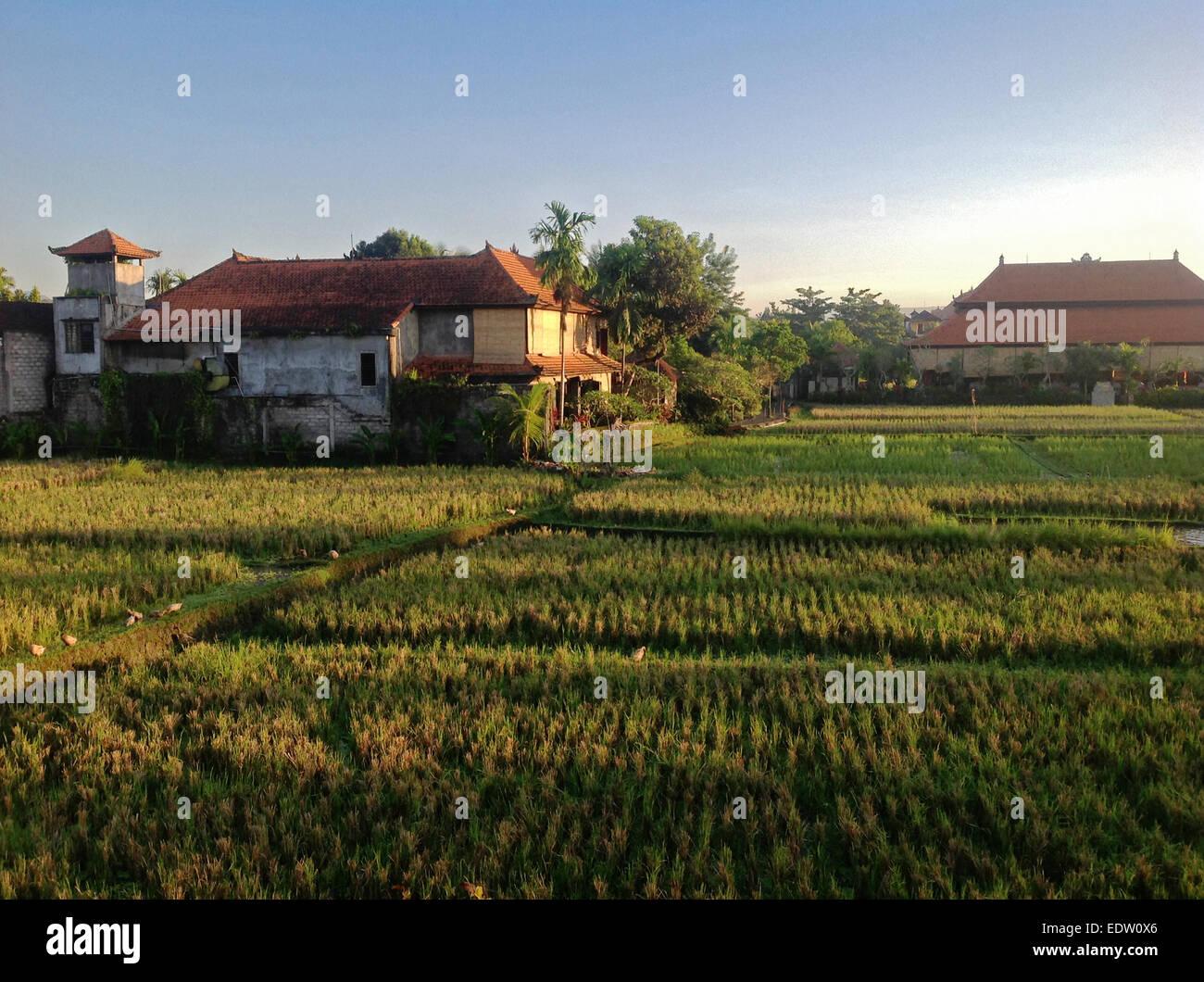 RICE paddies near UBUD - BALI, INDONESIA - Stock Image