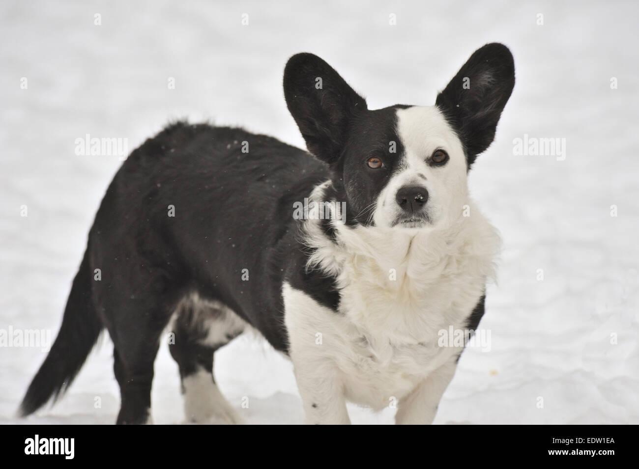 Cardigan welsh corgi in snow - Stock Image