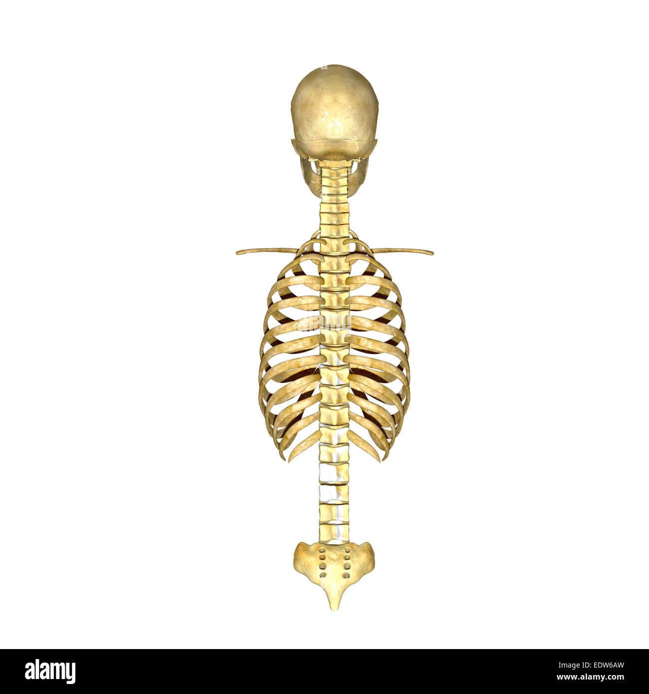 Rib cage spinal cord - Stock Image