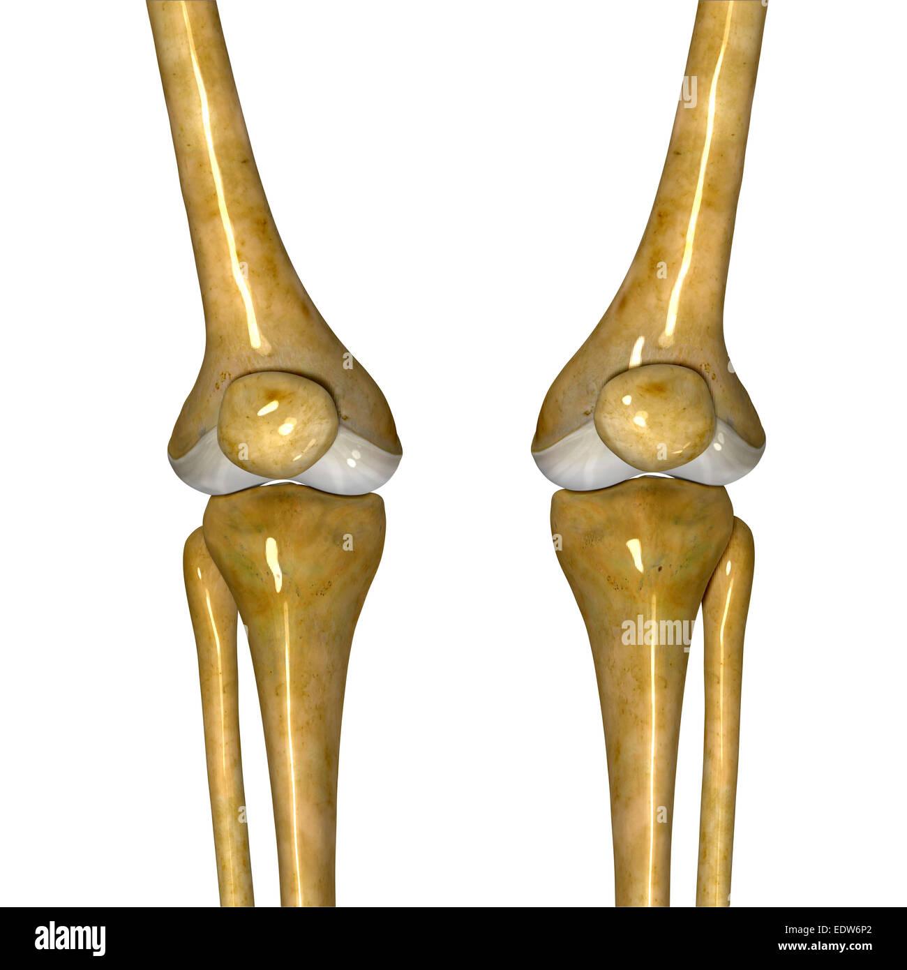 Skeleton Knee Joints Stock Photo 77386122 Alamy