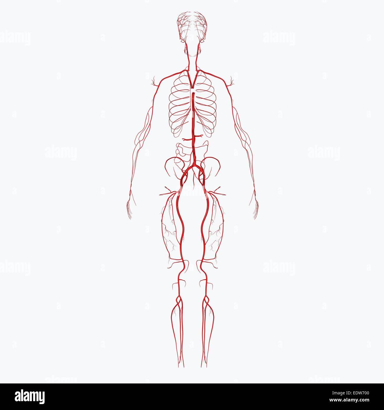 Human Arteries Stock Photo 77386288 Alamy