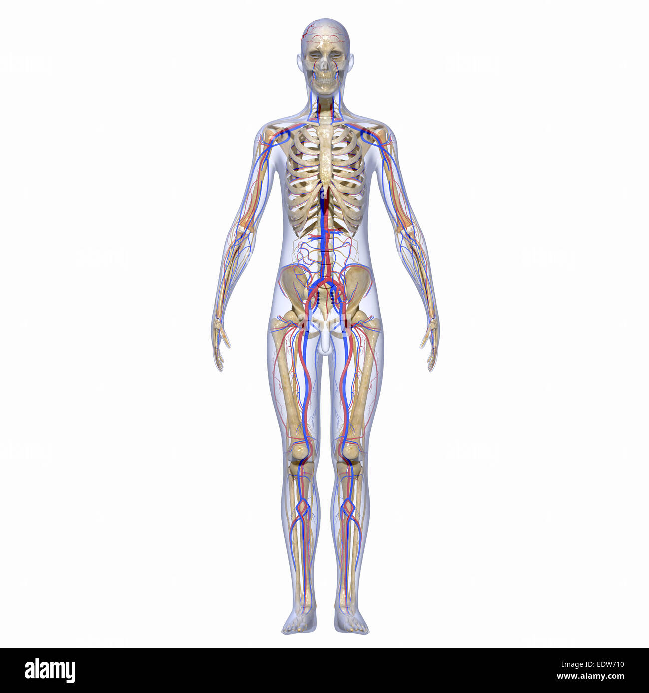 Skeleton and nervous system Stock Photo: 77386316 - Alamy