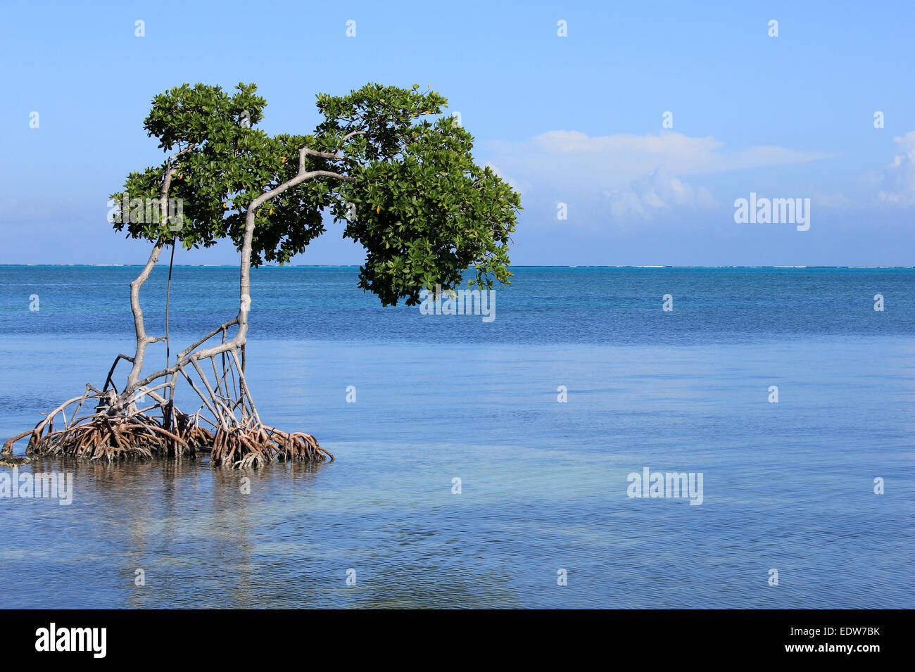 Red Mangrove Rhizophora mangle With Aerial Prop Roots In Caribbean Sea, Caye Caulker, Belize - Stock Image