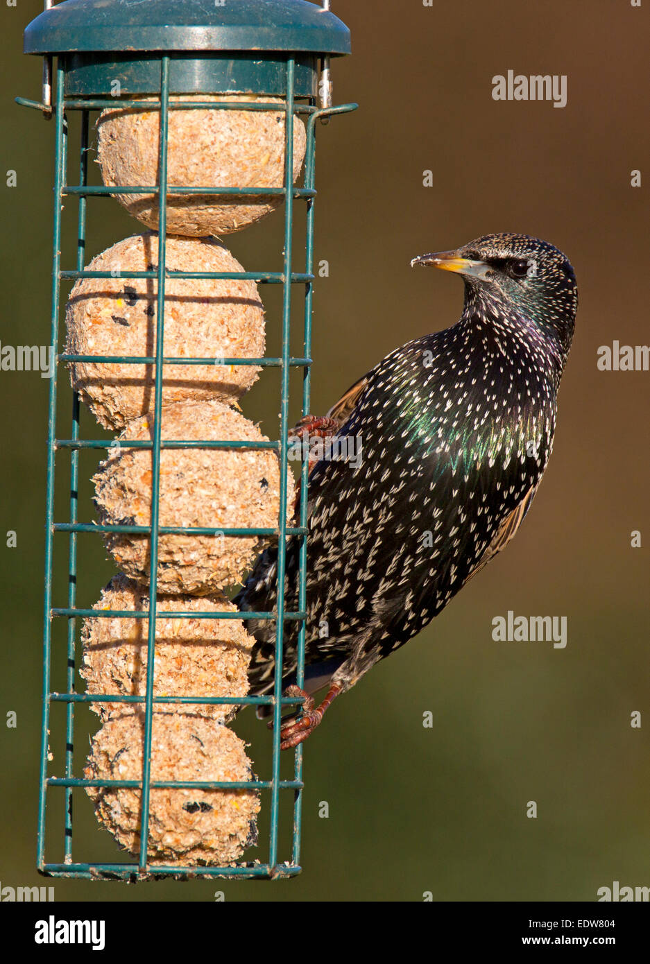 Common Starling Sturnus vulgaris adult non-breeding plumage feeding on fat-balls Stock Photo