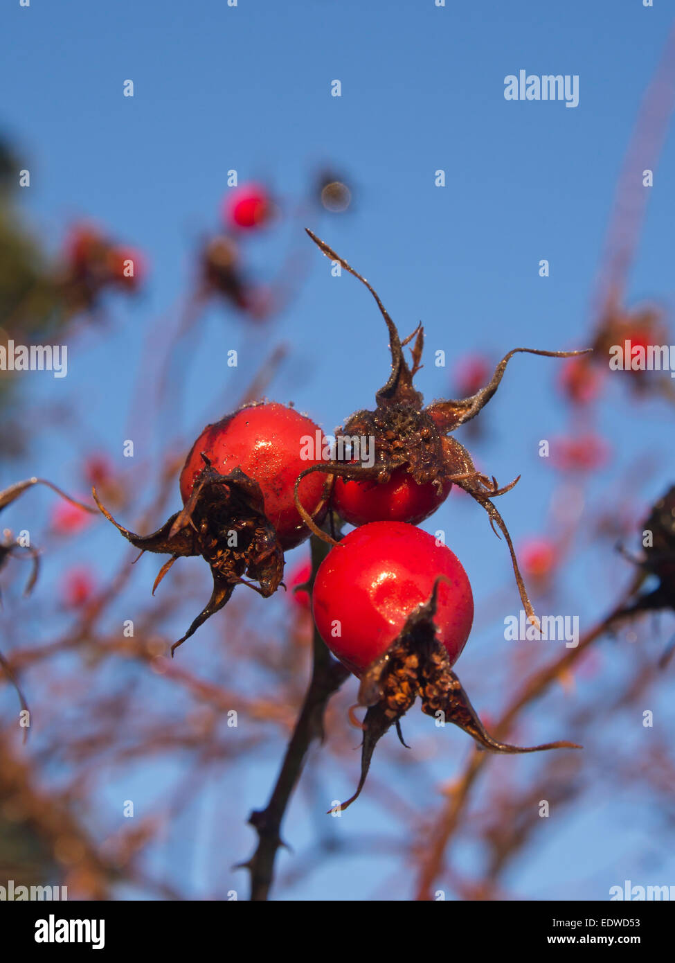 Rose hip fruit with thin ice coating against blue sky in winter - Stock Image