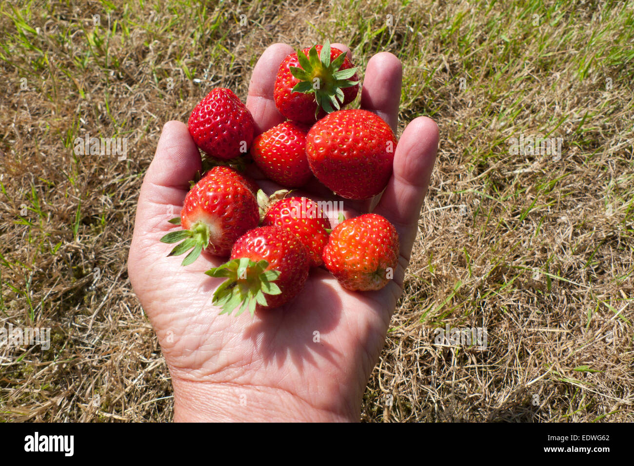 A hand with a handful of fresh ripe strawberries in summer Wales, Britain, UK  KATHY DEWITT Stock Photo