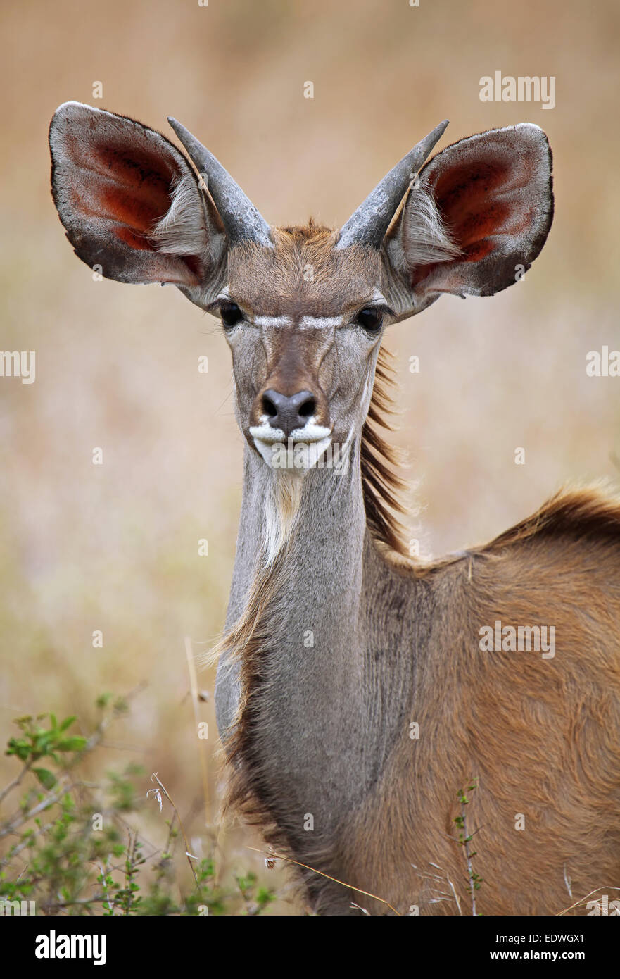 young Greater Kudu in South Africa, Tragelaphus strepsiceros - Stock Image