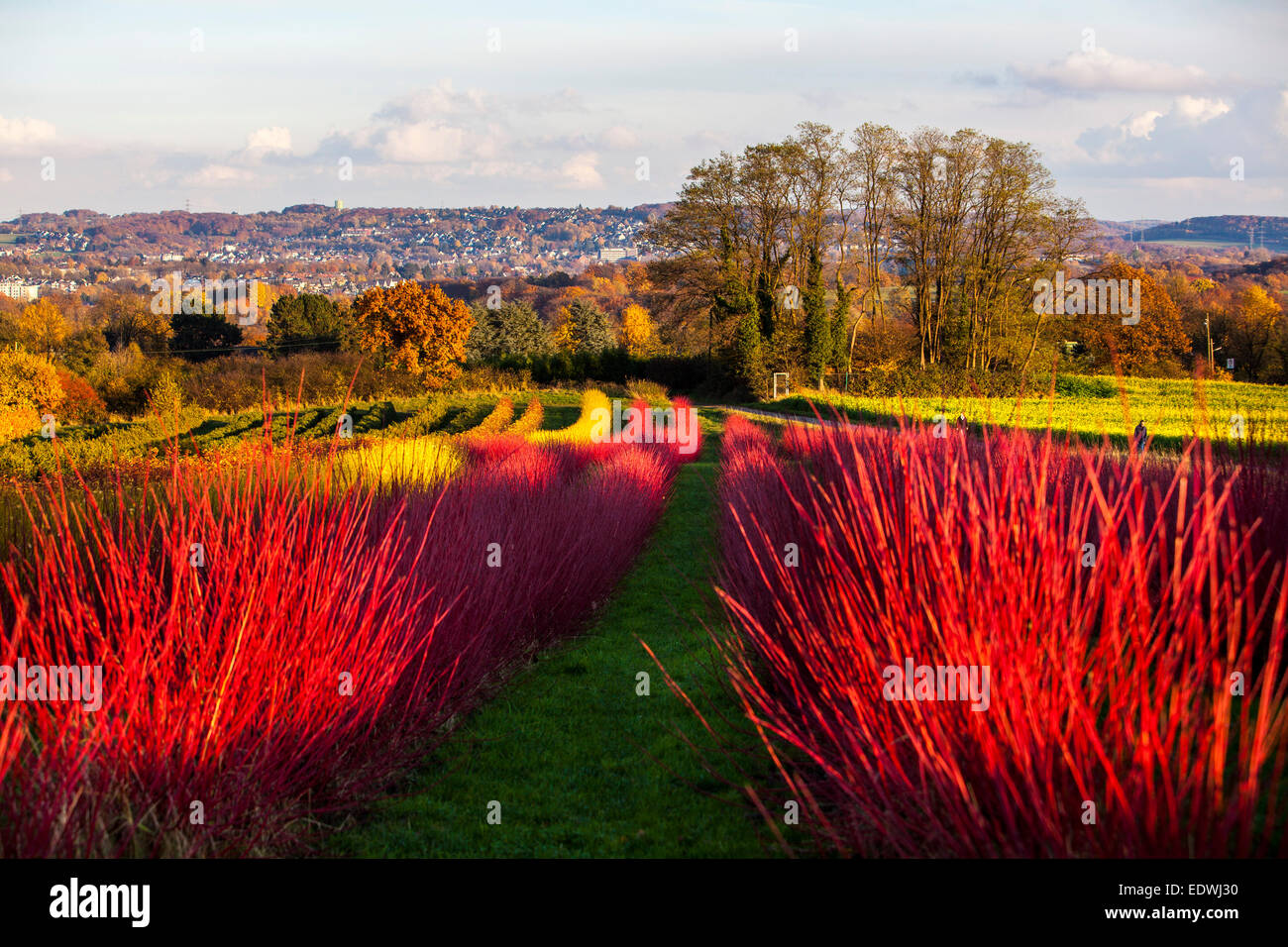 Red hedge plants, Siberian dogwood, Cornus alba sibirica, nursery, - Stock Image