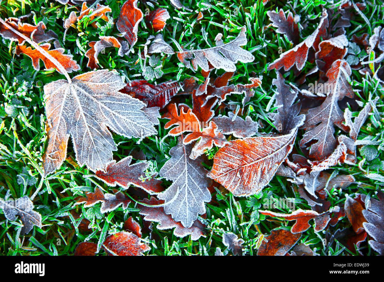Fall, autumn, foliage on grass, frost, Stock Photo