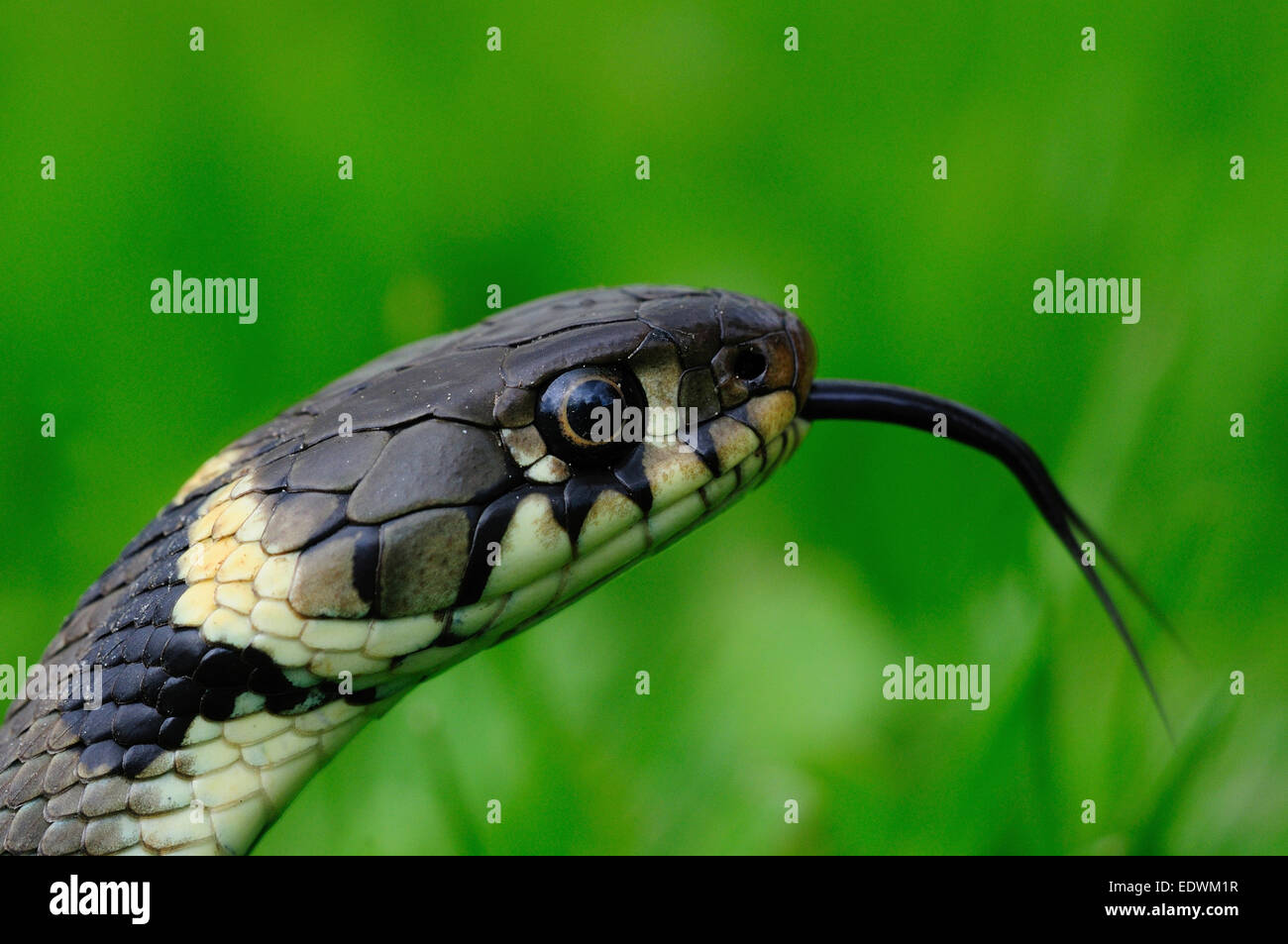 Grass snake flicking its tongue UK - Stock Image