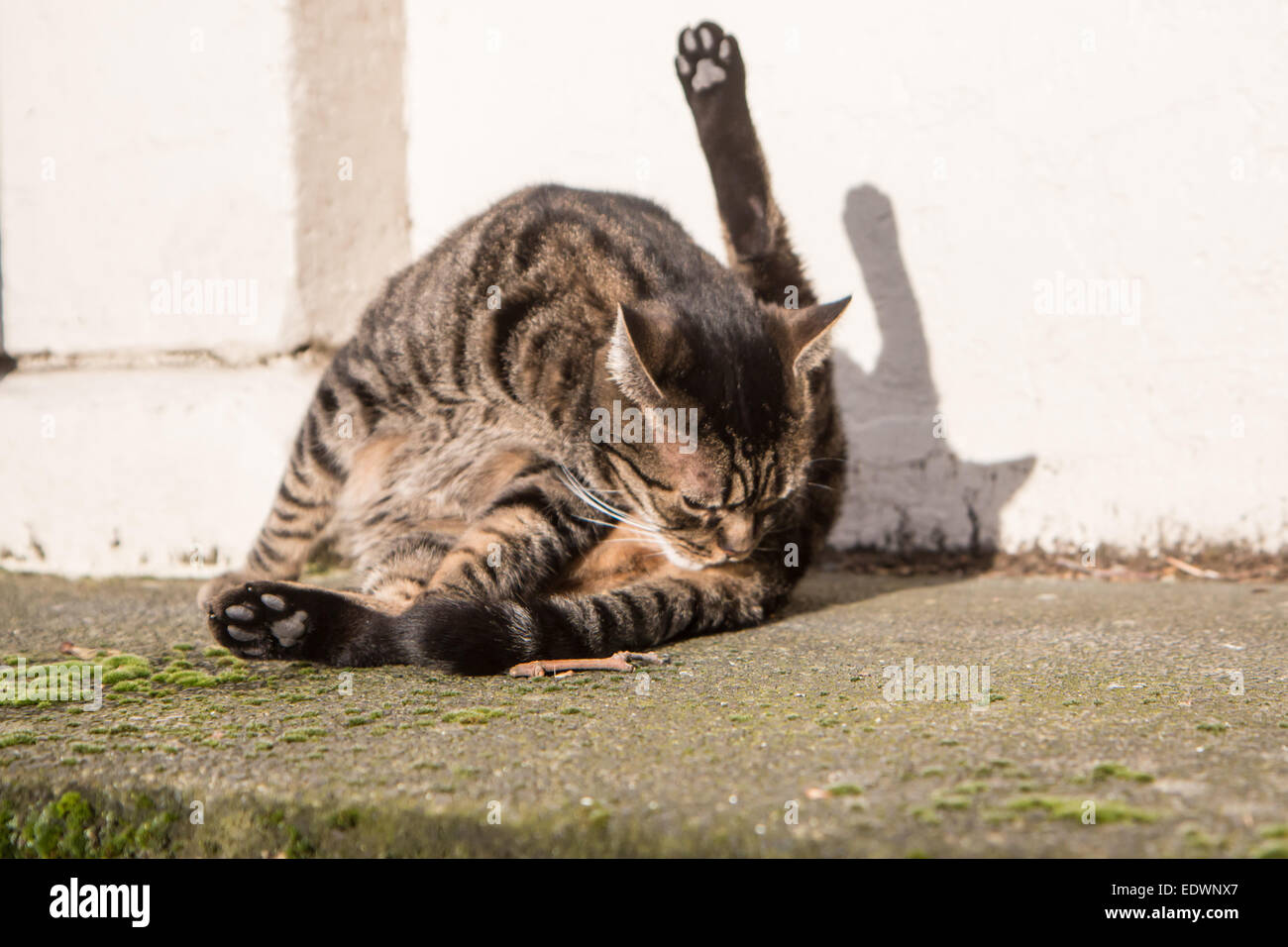 Cat licking its bum in the sun - Stock Image