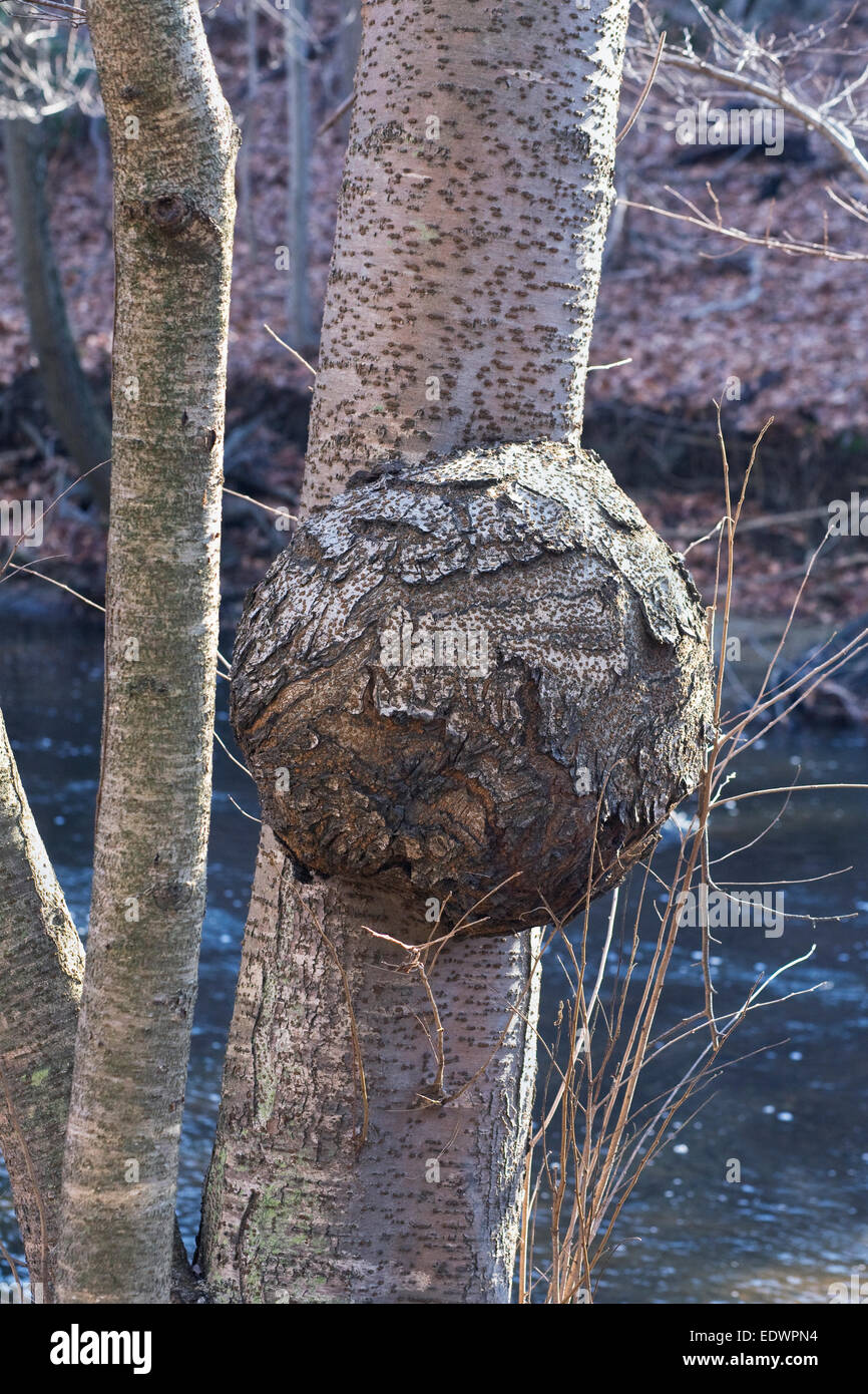 Abnormal growth on a tree. - Stock Image