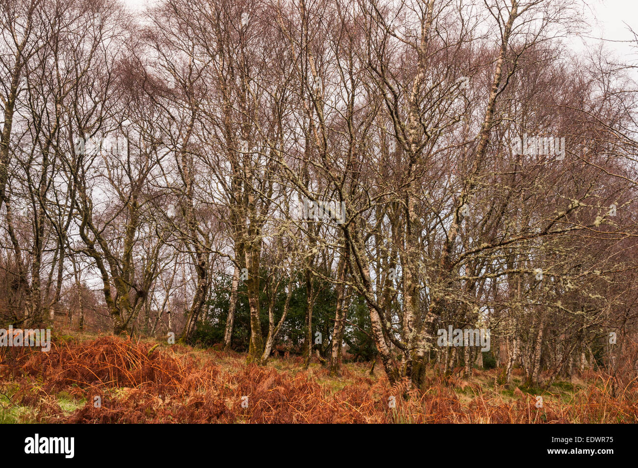 Silver Birch Trees, Betula pendula, in winter amongst the ferns in Scotland - Stock Image