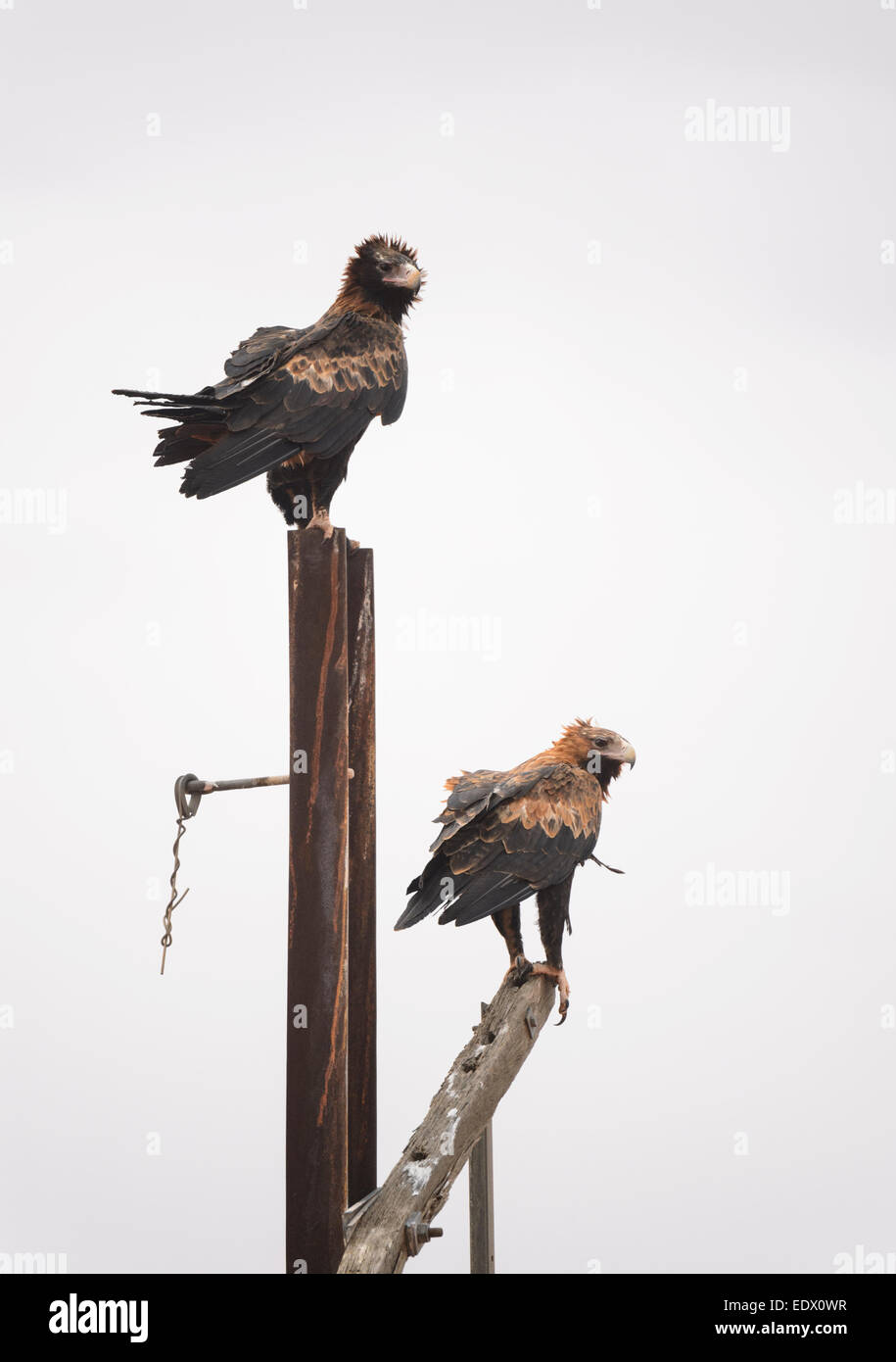 Wedge-tailed Eagles, Aquila audax, South Australia - Stock Image