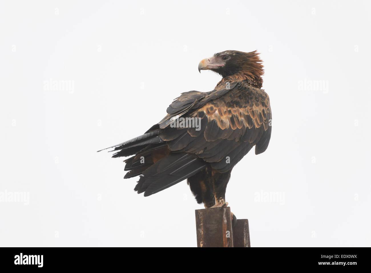 Wedge-tailed Eagle, Aquila audax, South Australia Stock Photo