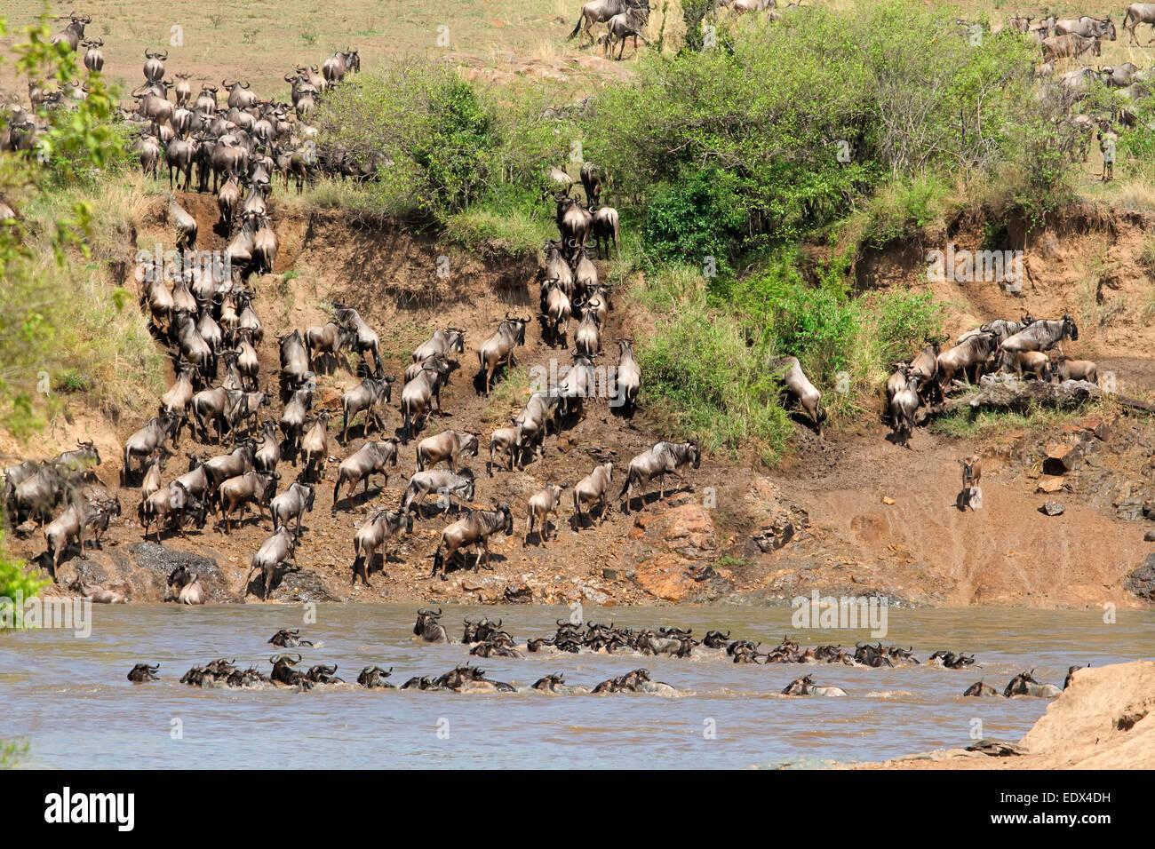 Migratory blue wildebeest (Connochaetes taurinus) crossing the Mara river, Masai Mara National Reserve, Kenya - Stock Image