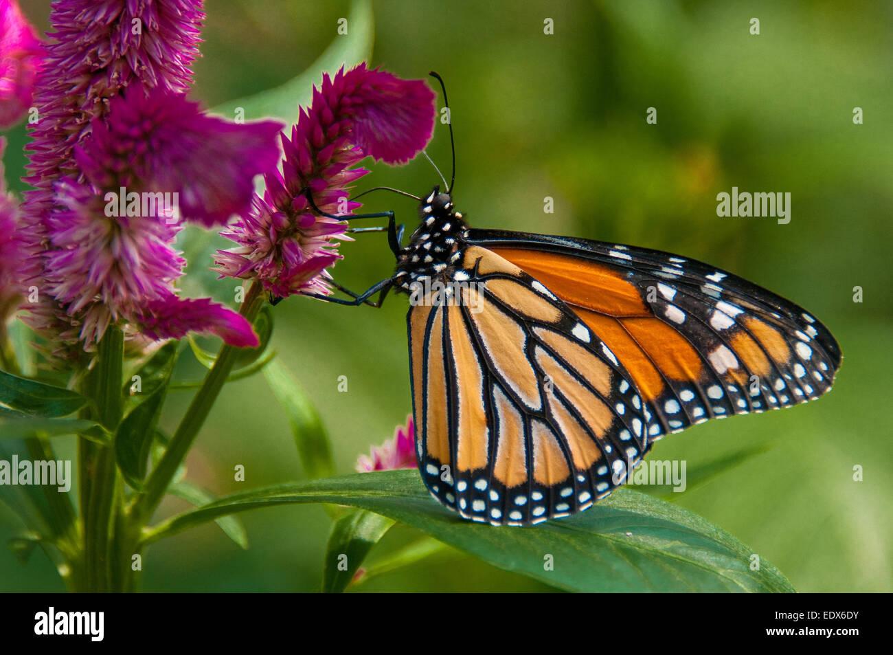 Wanderer (aka Monarch) Butterfly (Danaus plexippus) - Stock Image