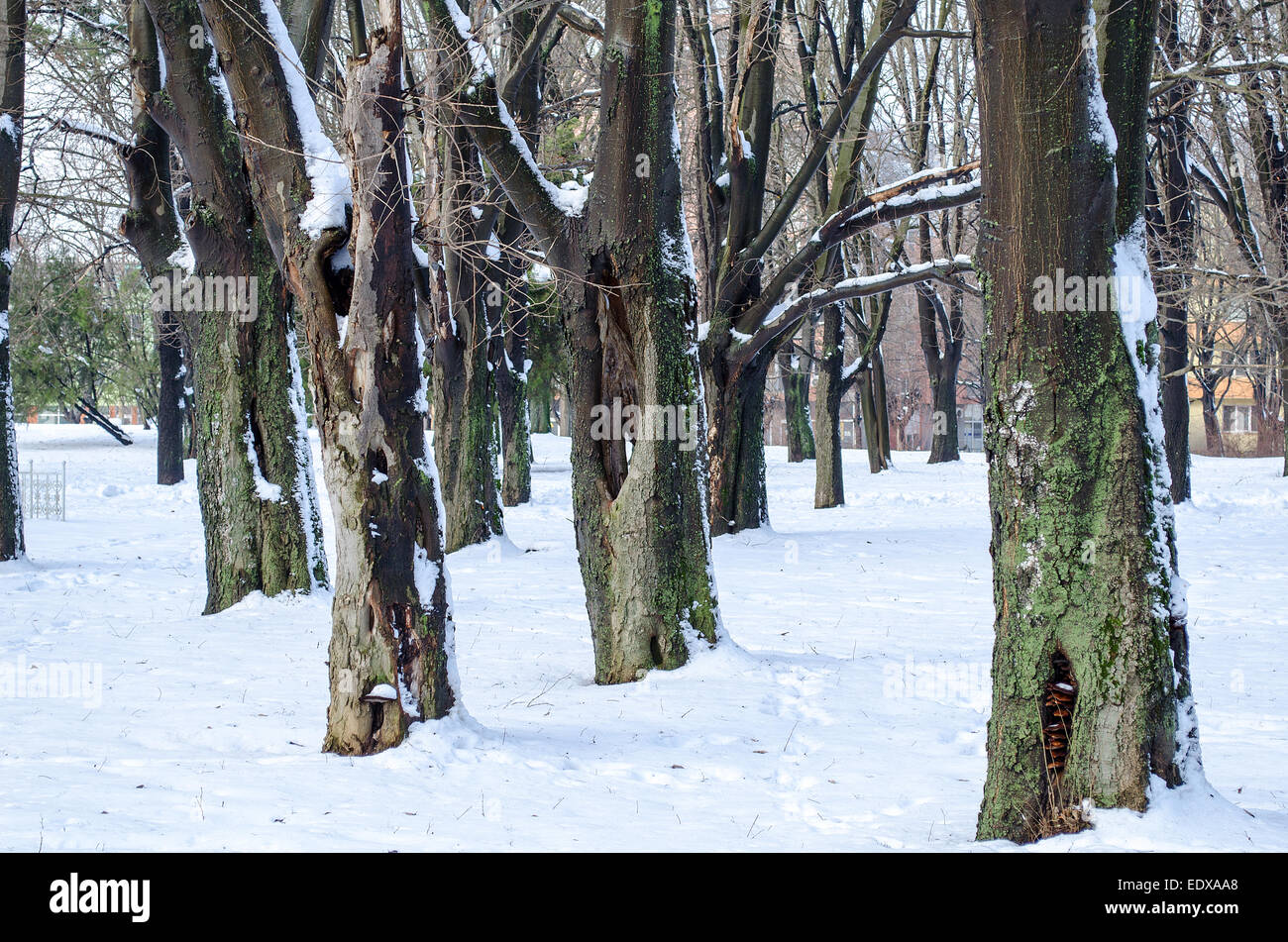 Trees with snow in winter park Stock Photo
