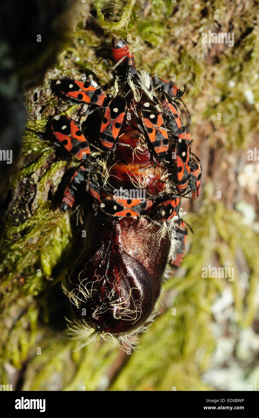 Black-and-Red-bugs (Lygaeus equestris) feeding on a butterfly chrysalis. - Stock Image
