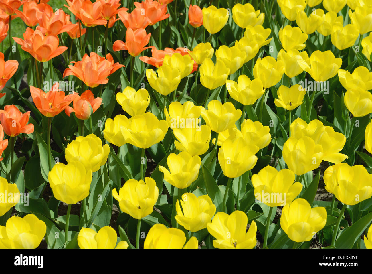 yellow tulips on flowerbed.cross processing - Stock Image
