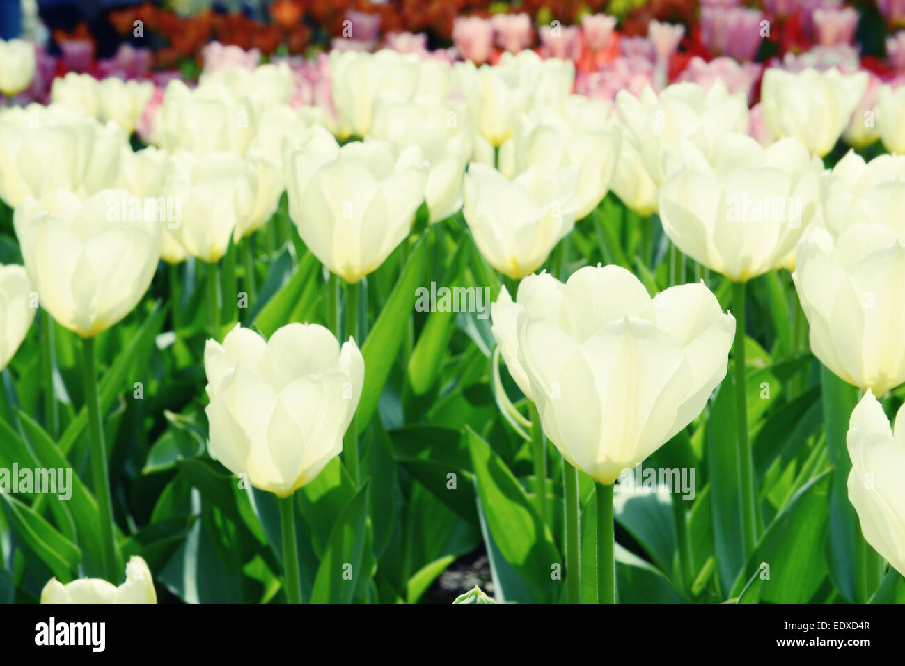 white tulips on flowerbed. back lit and cross processing - Stock Image