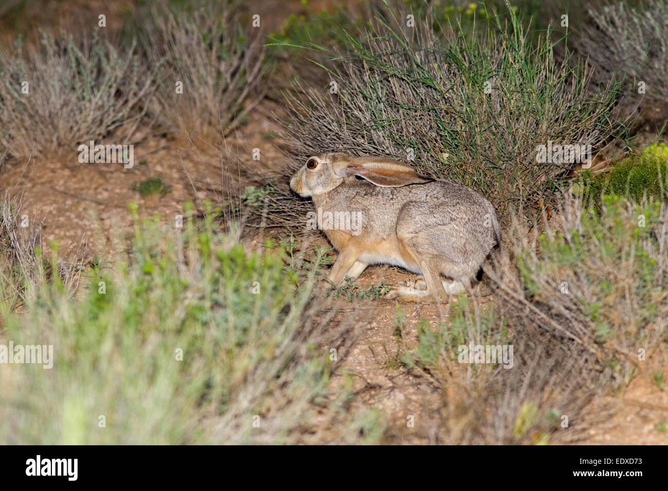 Black-tailed Jackrabbit  Lepus californicus  Oracle, Arizona, United States 20 August        Adult hiding with ears - Stock Image