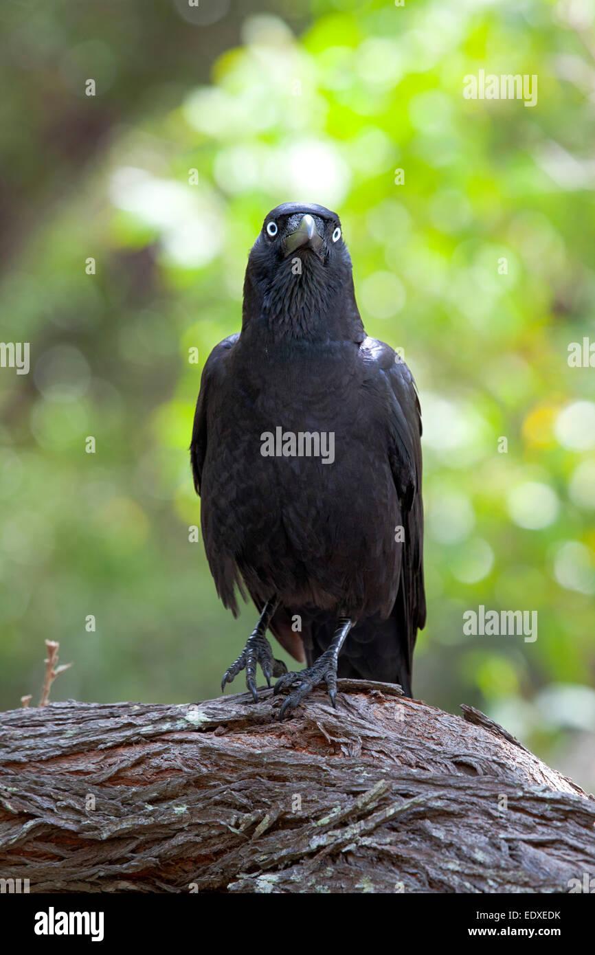 Australian Raven, Corvus coronoides ,Australia - Stock Image