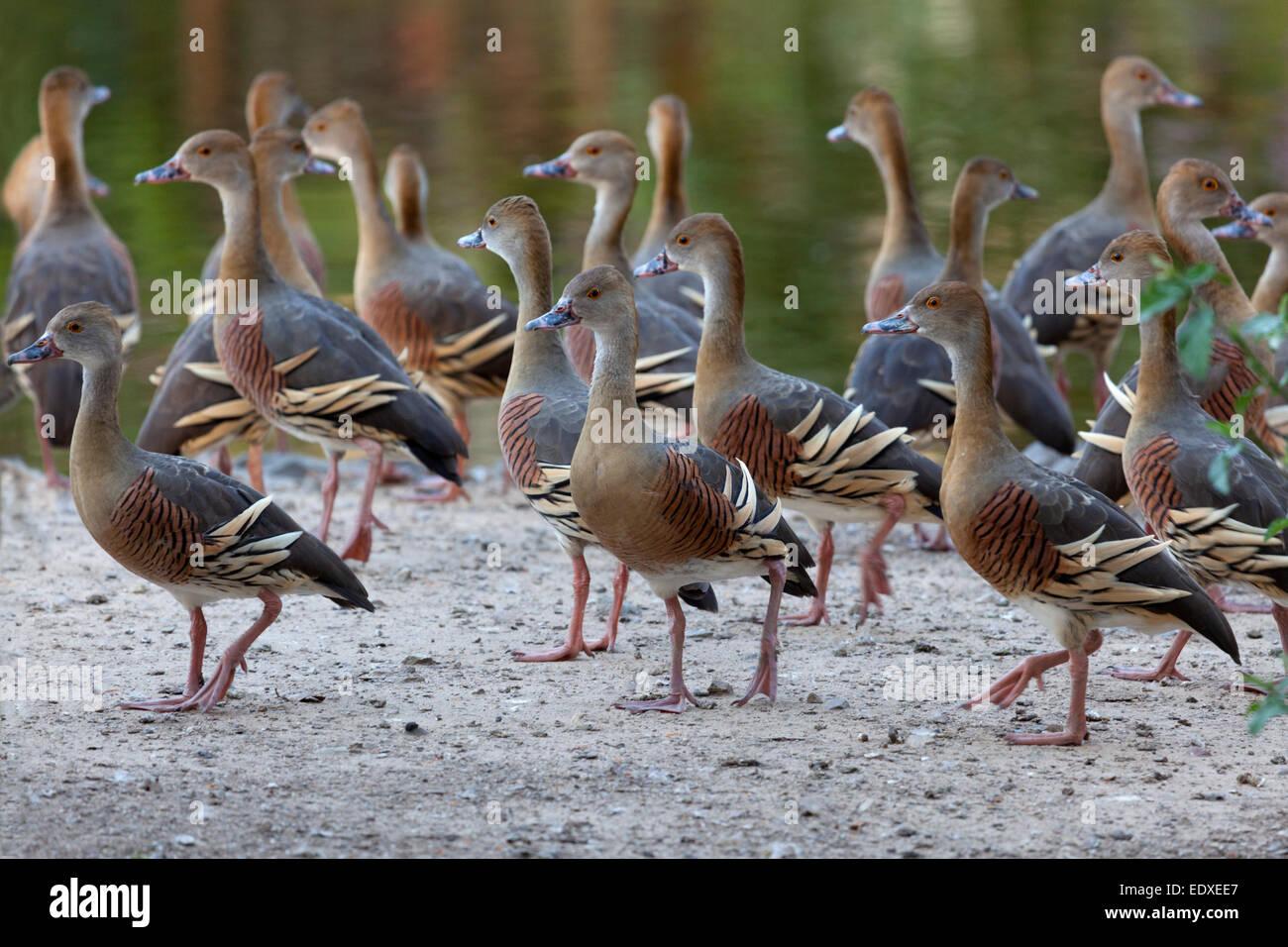 Plumed whistling ducks, Australia Stock Photo