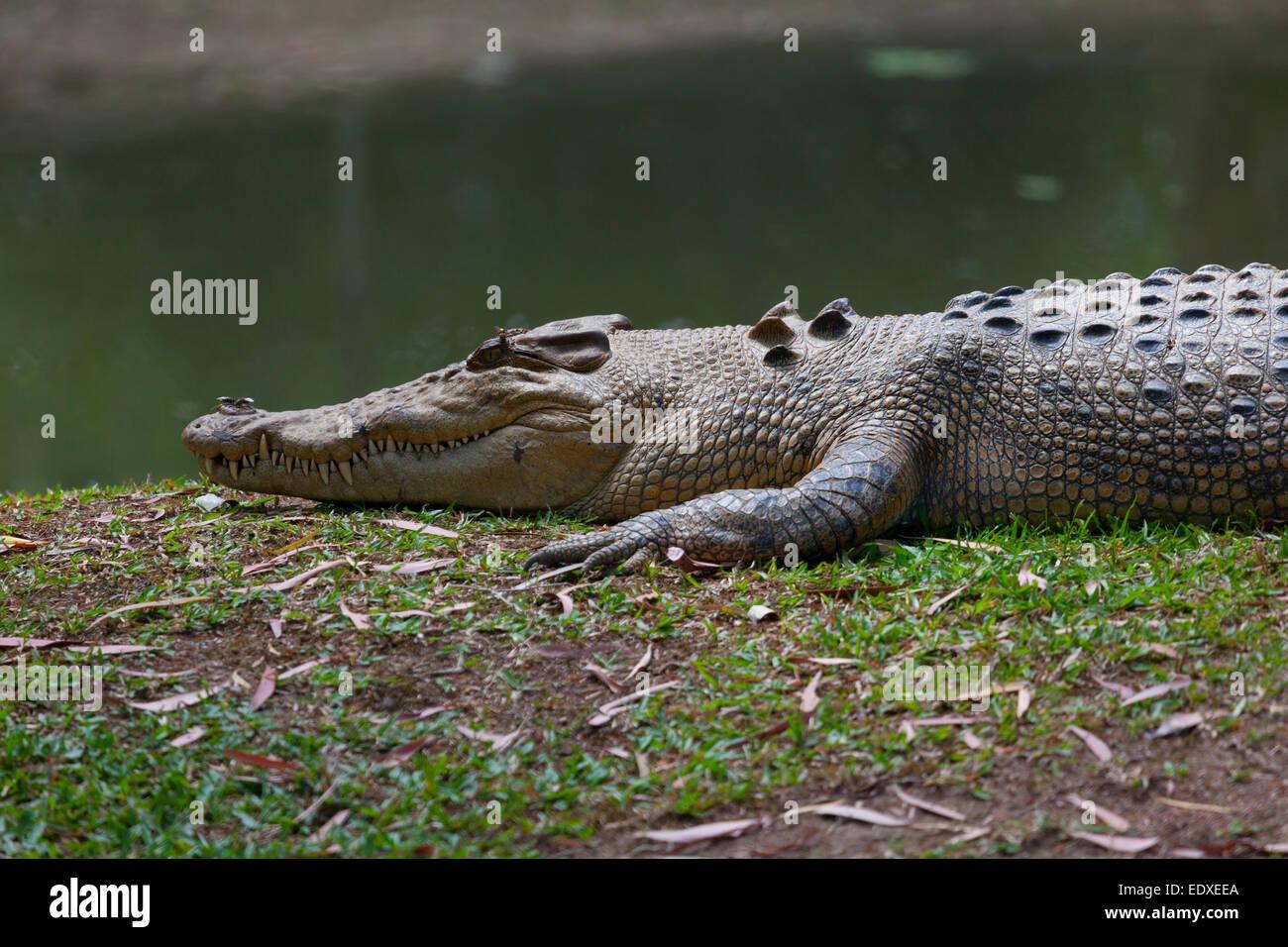 Crocodile in the Australian Zoo, Beerwah,Australia - Stock Image