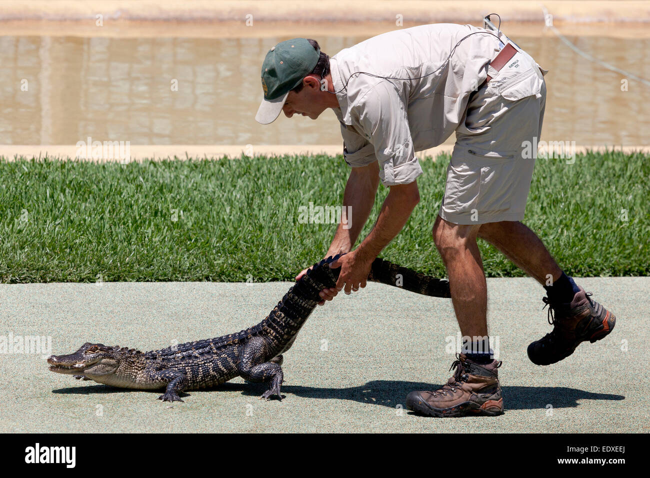 Keeper with a Crocodile in the Crocoseum at the Australia zoo, Beerwah,Australia - Stock Image