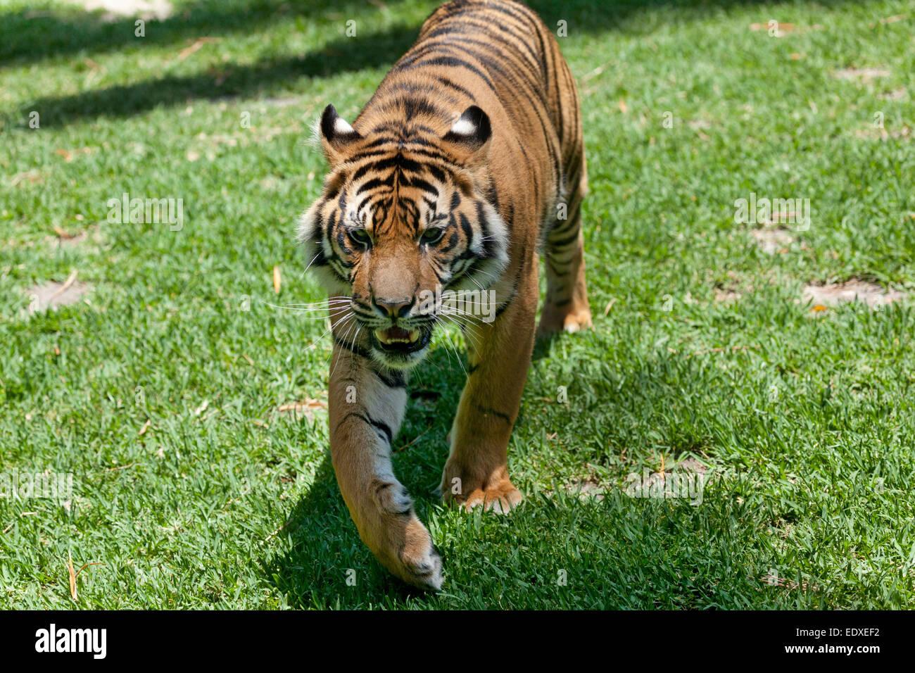 Sumatran Tiger in the Australian Zoo, Beerwah,Australia - Stock Image