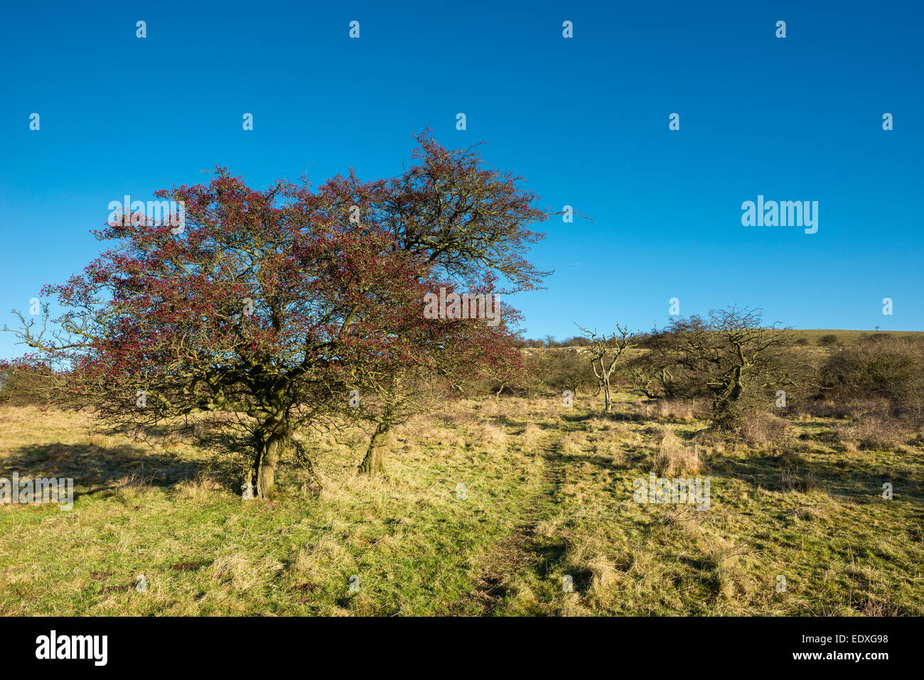 Bright red berries on a Hawthorn tree in a Peak District landscape in Cressbrook dale nature reserve. - Stock Image