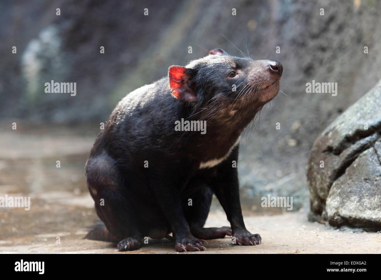 Tasmanian devil in the Australian Zoo, Beerwah,Australia - Stock Image