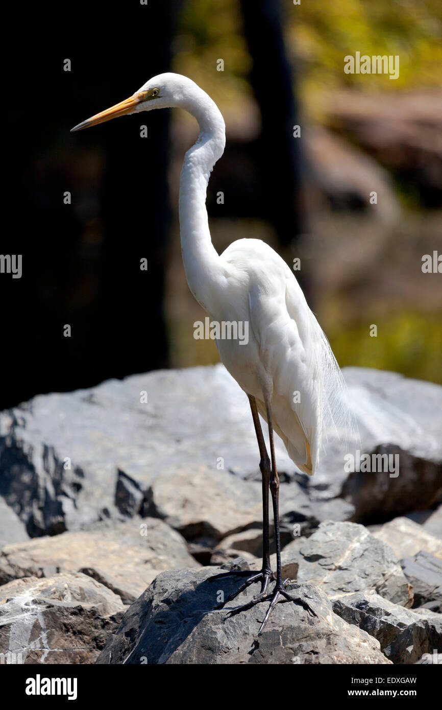 Eastern great egret, New South Wales, Australia - Stock Image