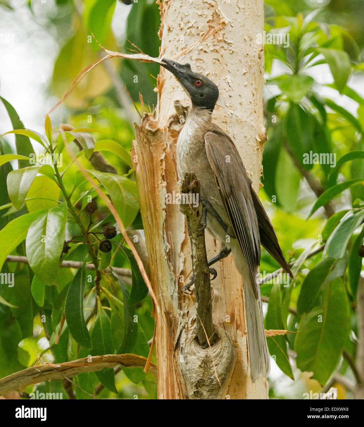 Australian noisy friar bird, Philemon corniculatus, with nesting material, a strip of bark from Melaleuca tree, - Stock Image