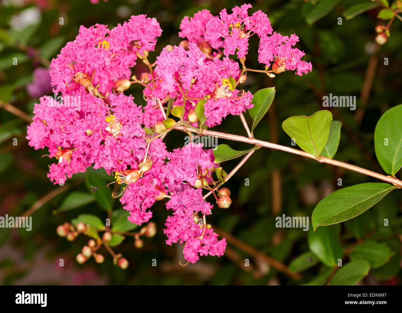 Crepe Myrtle Stock Photos Crepe Myrtle Stock Images Alamy