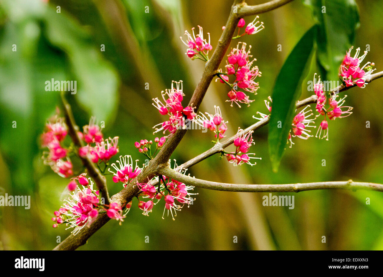 Clusters of vivid pink flowers of australian native corkwood tree clusters of vivid pink flowers of australian native corkwood tree melicope syn euodia elleryana against green background mightylinksfo