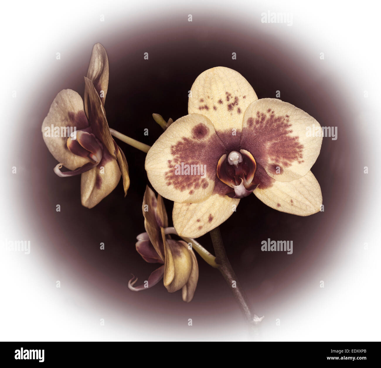 Spectacular flower of Phalaenopsis / Moth orchid in sepia tones of brown and white against dark brown background - Stock Image