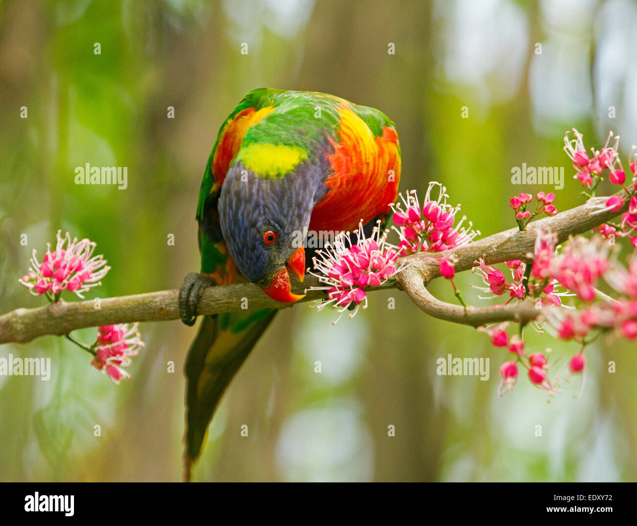 Brightly coloured rainbow lorikeet, Australian parrot in the wild feeding on clusters of pink flowers of native Stock Photo