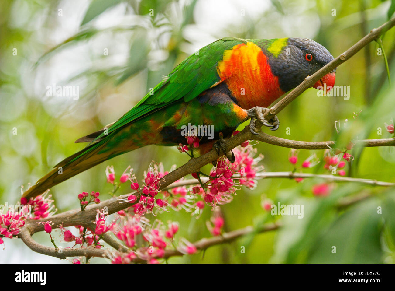 Brightly coloured rainbow lorikeet, Australian parrot in the wild among clusters of pink flowers of native corkwood - Stock Image