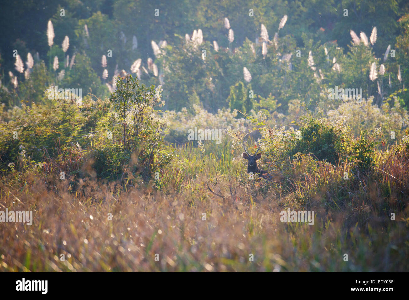 Rusa unicolor, Sambar Deer, in Phu Khieo Wildlife Sanctuary, Thailand. - Stock Image