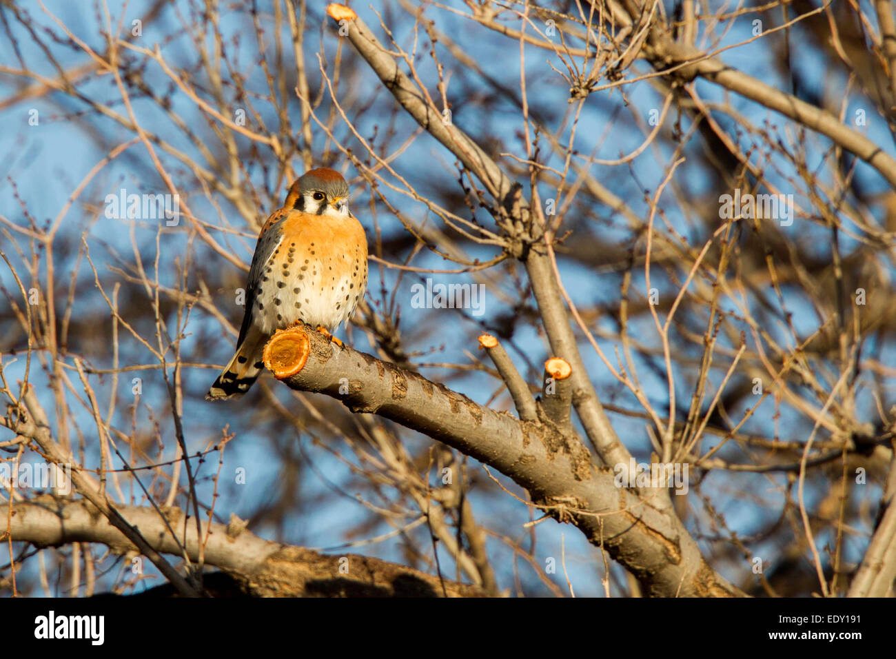 American Kestrel  Falco sparverius Mn Neal, Cochise County, Arizona, United States 9 January      Adult Male    Stock Photo